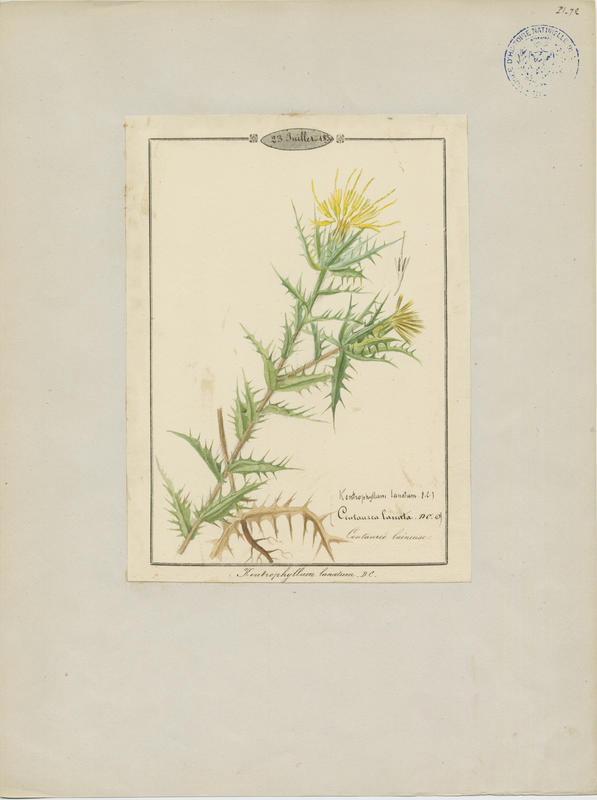 BARLA Jean-Baptiste (attribué à) : Carthame laineux, plante à fleurs