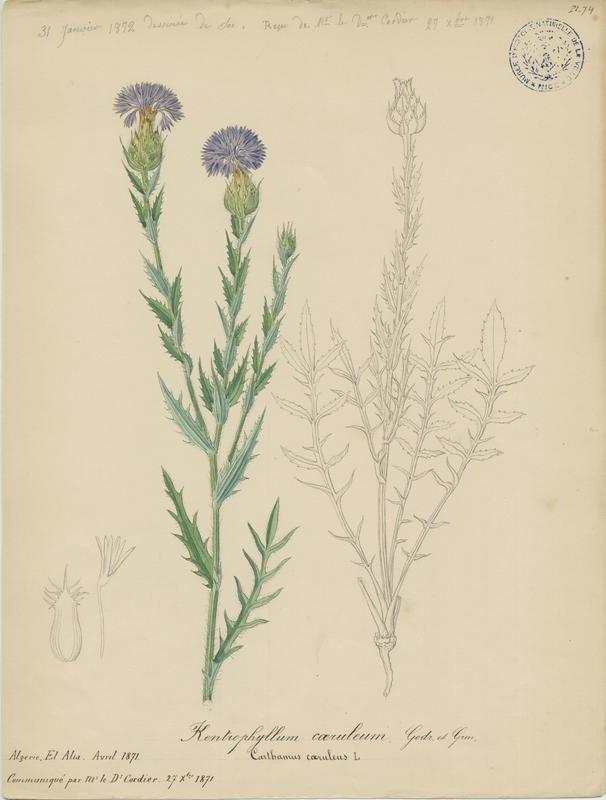 Carthame bleu ; plante à fleurs_0