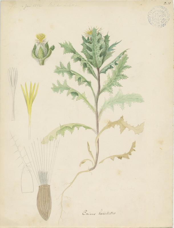 Chardon béni ; plante à fleurs_0