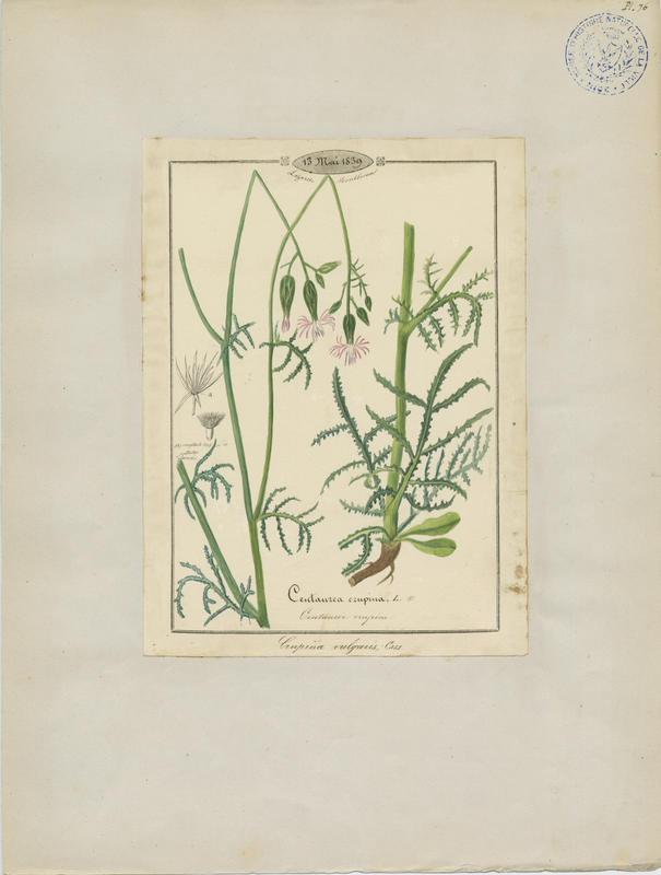 Centaurée crupine ; plante à fleurs_0