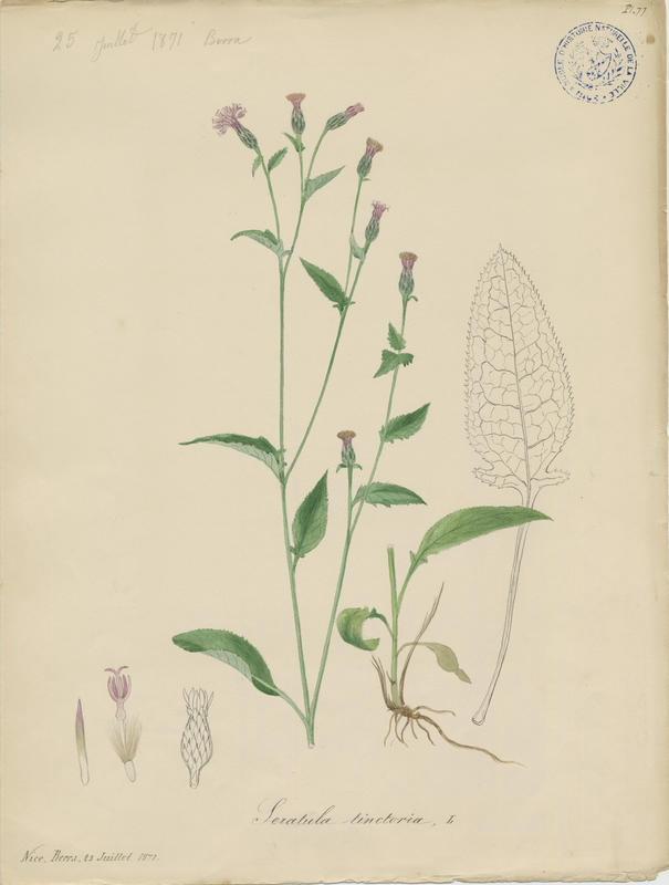 BARLA Jean-Baptiste (attribué à) : Serratule des teinturiers, plante à fleurs
