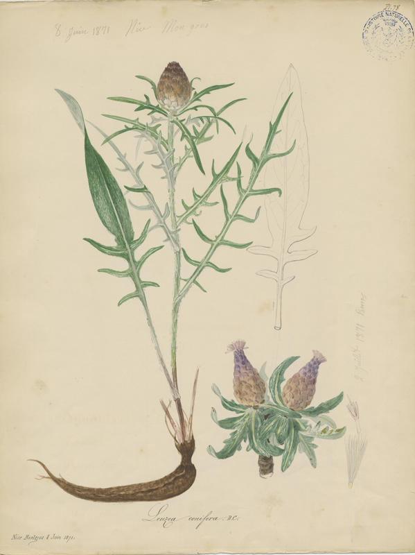 BARLA Jean-Baptiste (attribué à) : Leuzée pomme-de-pin, plante à fleurs
