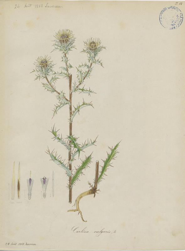 Carline commune ; plante à fleurs_0