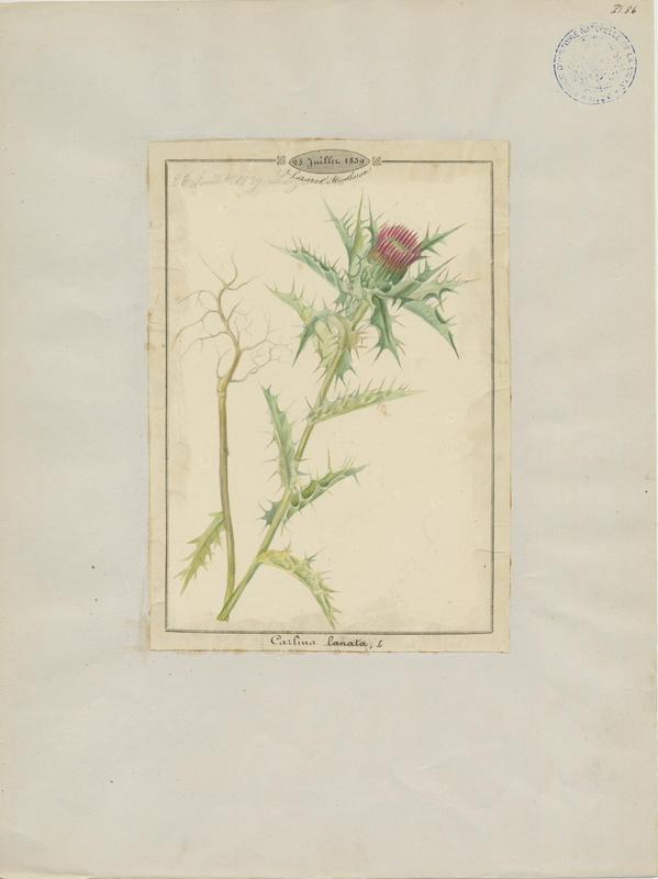 Carline laineuse ; plante à fleurs_0