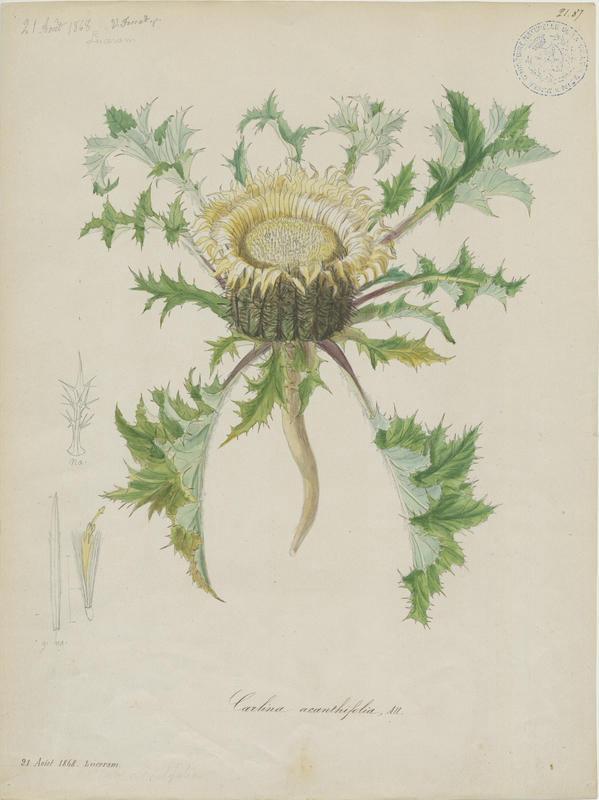 FOSSAT Vincent (aquarelliste, peintre) : Carline à feuilles d'acanthe, plante à fleurs