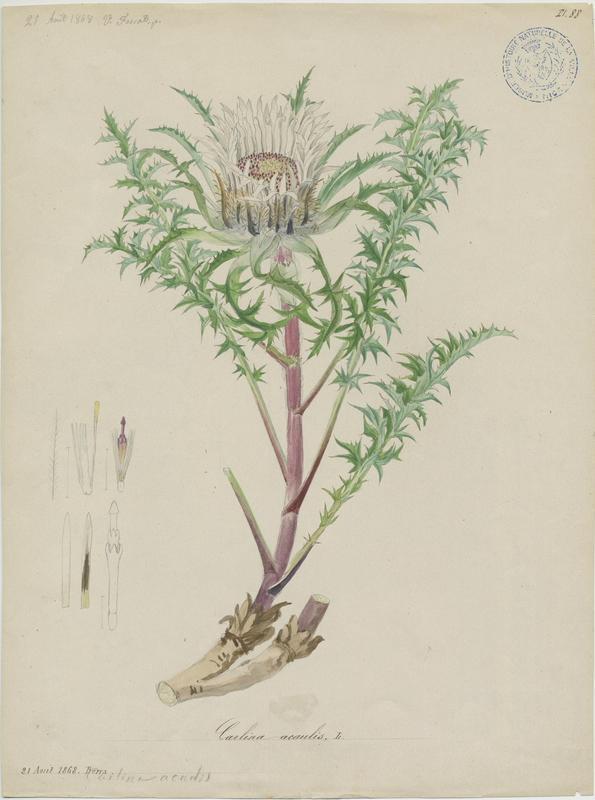 FOSSAT Vincent (aquarelliste, peintre) : Carline à tige courte, plante à fleurs