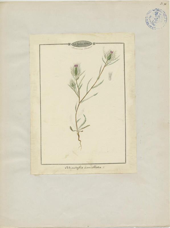 BARLA Jean-Baptiste (attribué à) : Atractyle grillagé, plante à fleurs