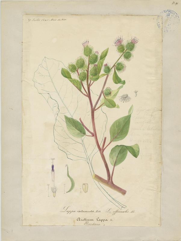 BARLA Jean-Baptiste (attribué à) : Bardane, plante à fleurs