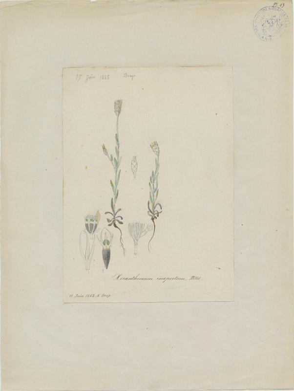 BARLA Jean-Baptiste (attribué à) : Xéranthème fermé, plante à fleurs