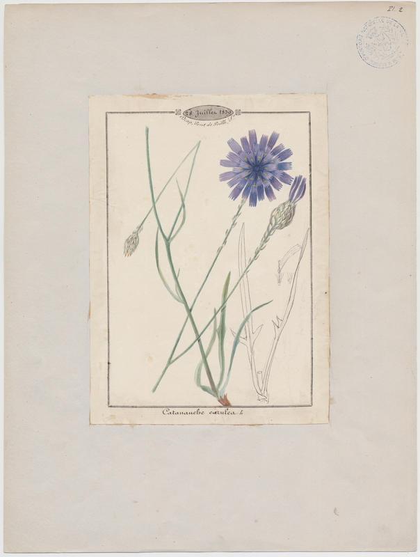 Catananche bleue ; Cupidone bleue ; plante à fleurs_0