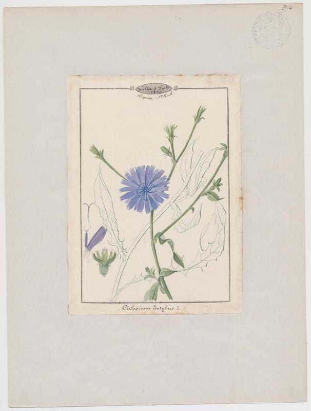 Chicorée amère ; plante à fleurs_0