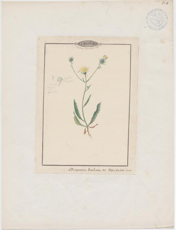 Trépane barbue ; plante à fleurs