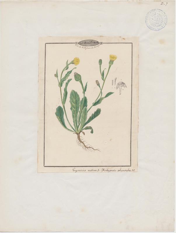Hédipnoïs polymorphe ; plante à fleurs_0