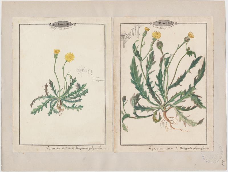 BARLA Jean-Baptiste (attribué à) : Hédipnoïs polymorphe, plante à fleurs
