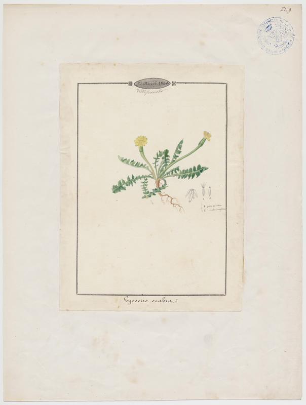 BARLA Jean-Baptiste (attribué à) : Chicorée scabre, Hyoséride scabre, plante à fleurs