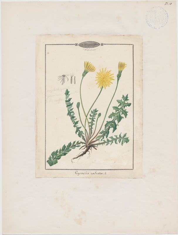 Hyoséride rayonnante ; Chicorée rayonnante ; Chicorée de porc ; plante à fleurs_0