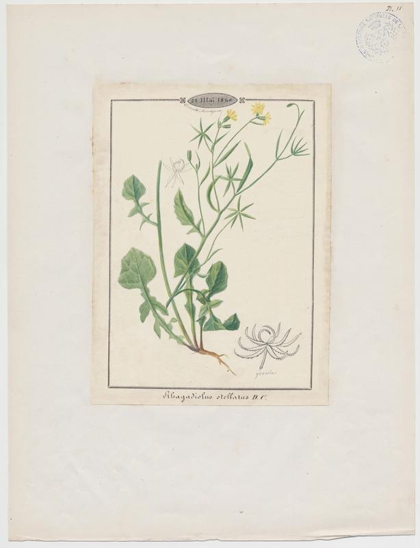 BARLA Jean-Baptiste (attribué à) : Rhagadiole en étoile, plante à fleurs