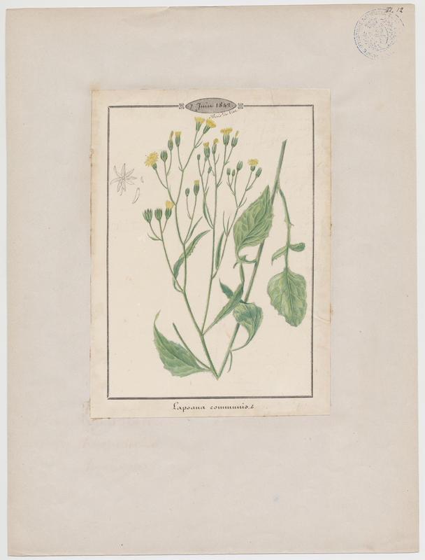 Lampsane commune ; plante à fleurs_0