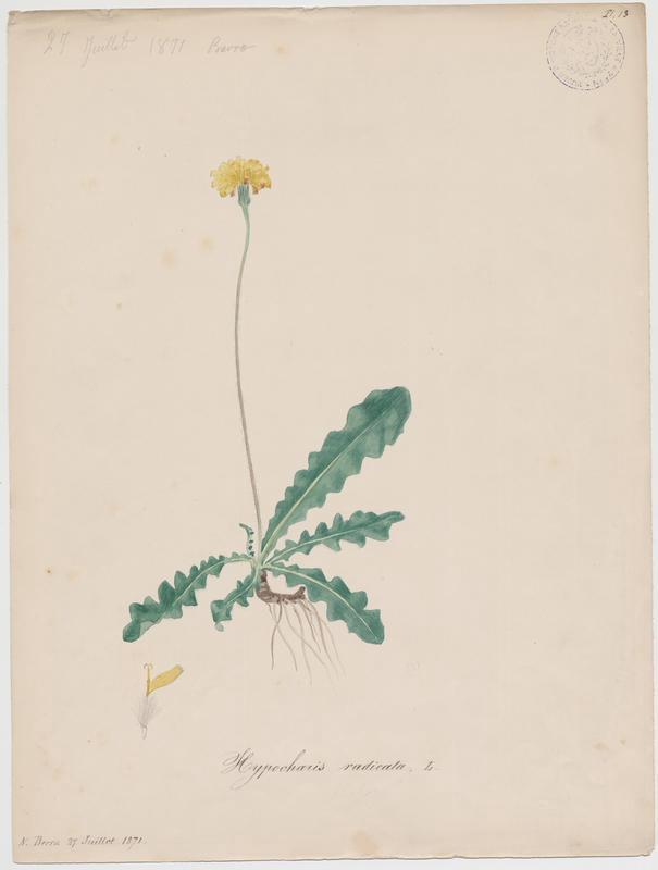 BARLA Jean-Baptiste (attribué à) : Porcelle enracinée, plante à fleurs