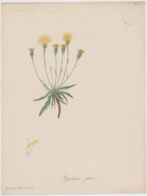 BARLA Jean-Baptiste (attribué à) : Porcelle glabre, Porcelle des sables, plante à fleurs