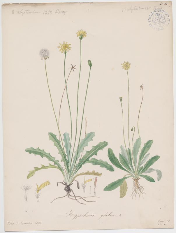 Porcelle glabre ; Porcelle des sables ; plante à fleurs_0
