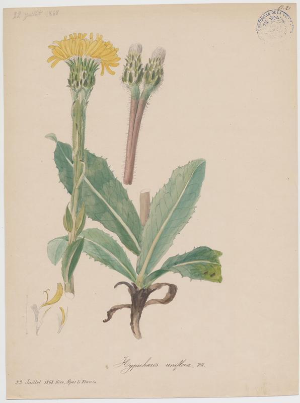 BARLA Jean-Baptiste (attribué à) : Grande Porcelle, Porcelle à une tête, plante à fleurs