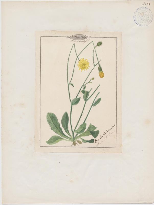Sériole de l'Etna ; plante à fleurs_0