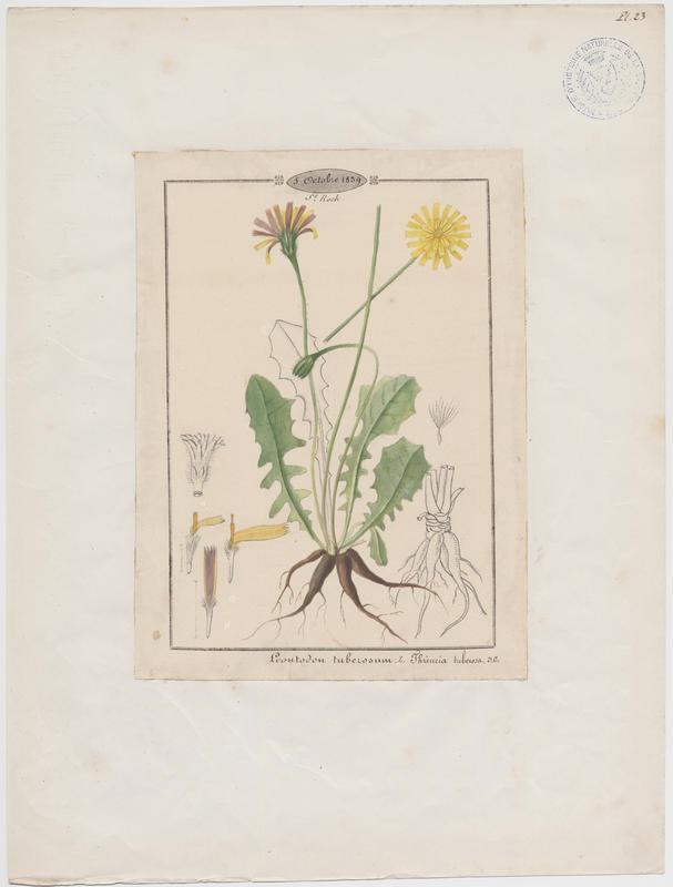 BARLA Jean-Baptiste (attribué à) : Liondent tubéreux, plante à fleurs
