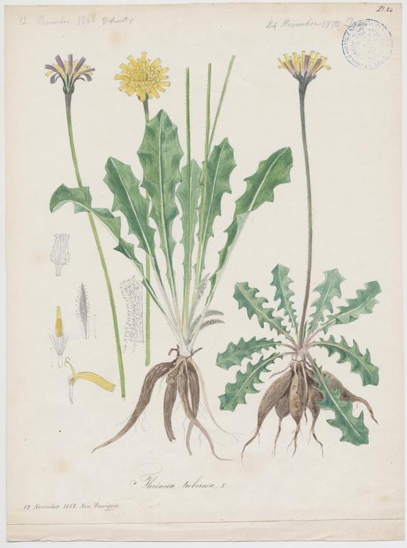 FOSSAT Vincent (aquarelliste, peintre) : Liondent tubéreux, plante à fleurs