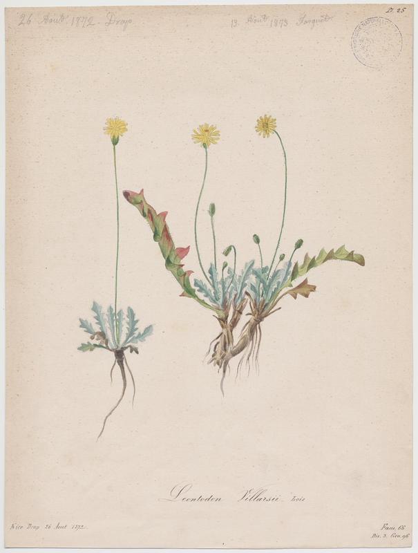 Liondent de Villars ; plante à fleurs_0