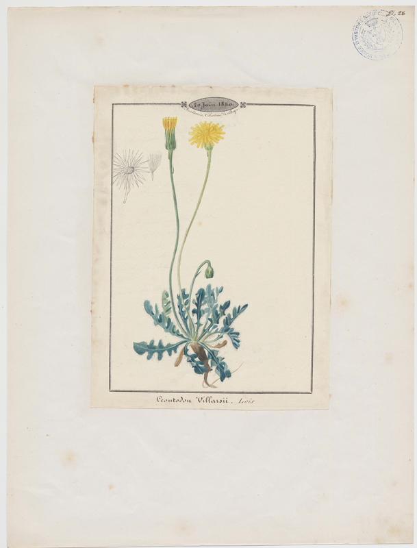 BARLA Jean-Baptiste (attribué à) : Liondent de Villars, plante à fleurs