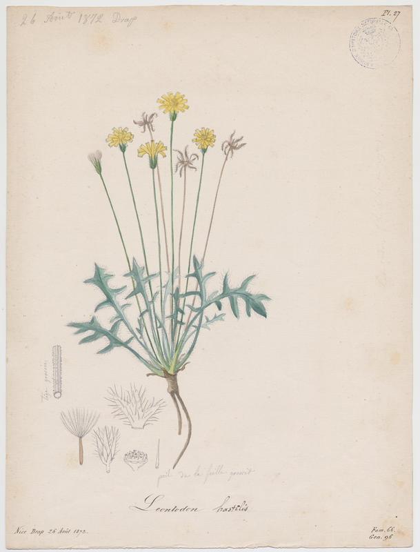 BARLA Jean-Baptiste (attribué à) : Liondent hispide, plante à fleurs