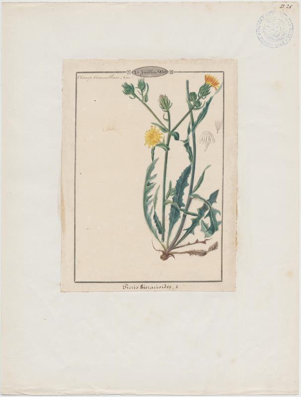 BARLA Jean-Baptiste (attribué à) : Picride fausse épervière, plante à fleurs