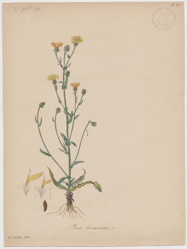 Picride fausse épervière ; plante à fleurs_0