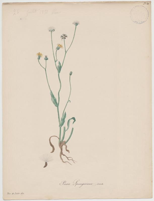 BARLA Jean-Baptiste (attribué à) : Picride sprengeriana, plante à fleurs