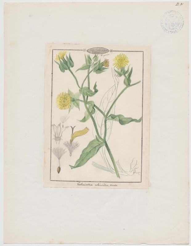 BARLA Jean-Baptiste (attribué à) : Picride fausse vipérine, plante à fleurs