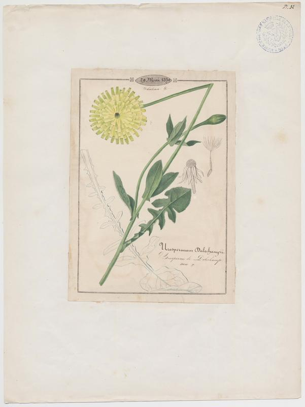 Urosperme de Dalechamp ; plante à fleurs_0