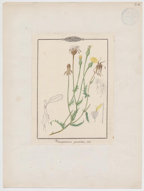 BARLA Jean-Baptiste (attribué à) : Urosperme fausse picride, plante à fleurs