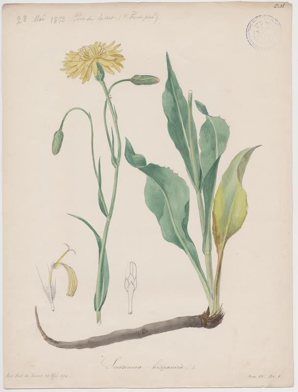 FOSSAT Vincent (aquarelliste, peintre) : Salsifis noir, plante à fleurs