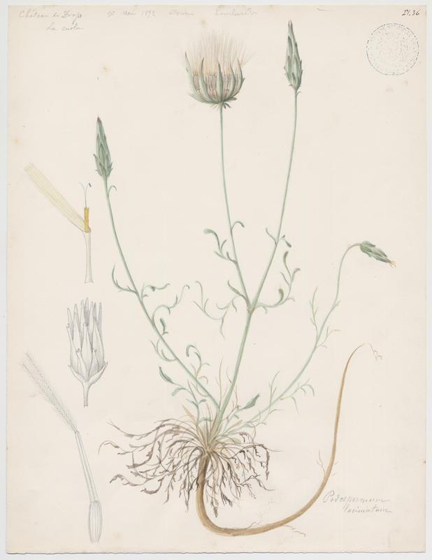LOMBARDI Charles : Scorsonère à feuilles de chausse-trape , Scorsonère à feuilles laciniées, plante à fleurs