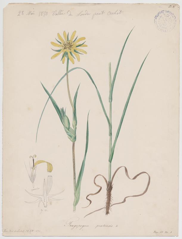 BARLA Jean-Baptiste (attribué à) : Salsifis des prés, plante à fleurs