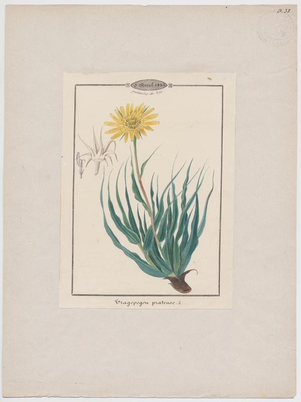 Salsifis des prés ; plante à fleurs_0