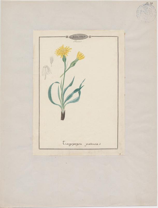 BARLA Jean-Baptiste (attribué à) : Salsifis des prés , plante à fleurs