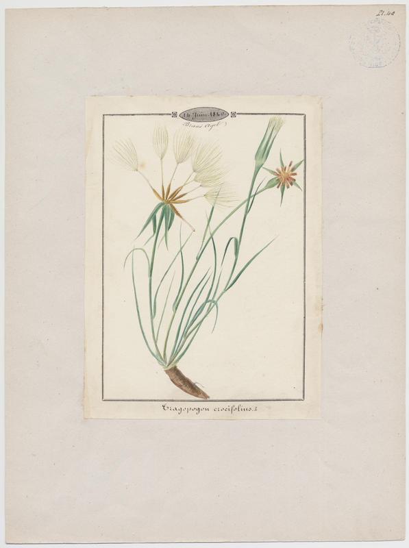 Salsifis à feuilles de crocus ; plante à fleurs_0