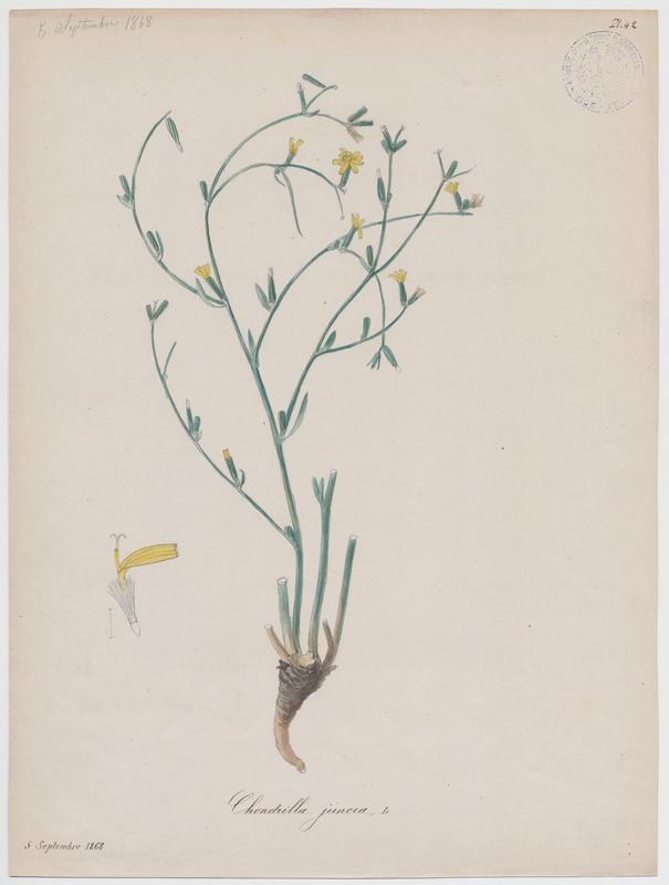 Chondrille à tiges de jonc ; plante à fleurs_0