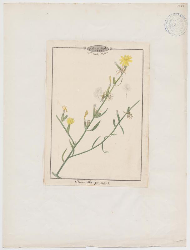 BARLA Jean-Baptiste (attribué à) : Chondrille à tiges de jonc, plante à fleurs