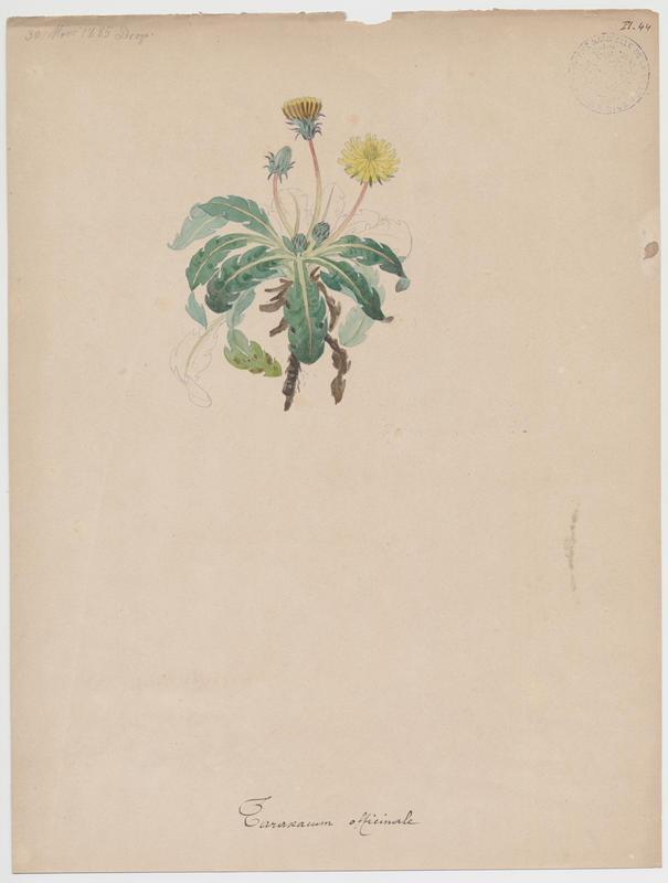 BARLA Jean-Baptiste (attribué à) : Pissenlit commun, Pissenlit officinal, plante à fleurs