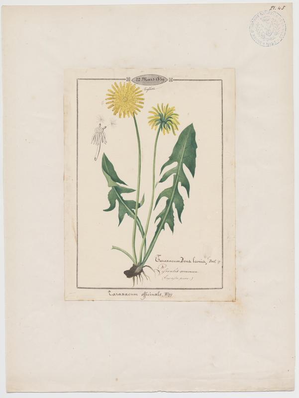 BARLA Jean-Baptiste (attribué à) : Pissenlit commun, Dent-de-lion, Chopine, Couronne de moine, Salade de taupe, plante à fleurs