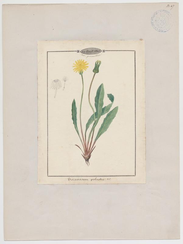 Pissenlit des marais ; plante à fleurs