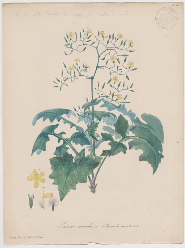 BARLA Jean-Baptiste (attribué à) : Laitue des murailles, plante à fleurs